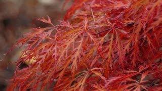 Acer palmatum 'Garnet' video
