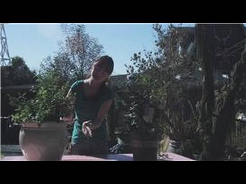 Exceptional Growing Blueberries : How To Prune Patio Blueberries   YouTube