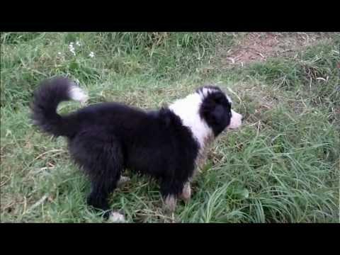 Australian Shepherd Pup's First Trip to the Creek