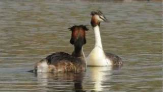Great Crested Grebe courtship and mating First off a little courtship display, followed by a single clip of 3 consecutive matings. The female wanted more, but the male was used up...