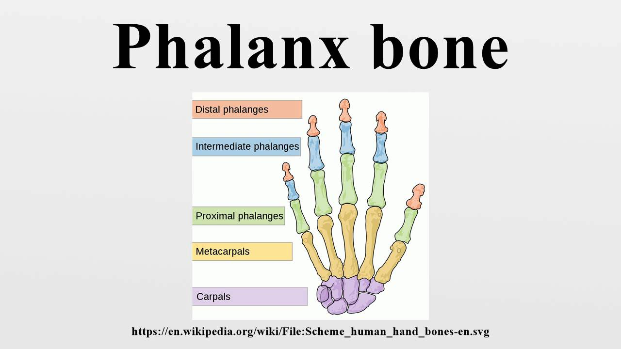 Phalanx bone - YouTube