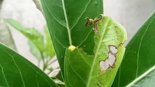 Sâu ăn lá sứ thái  Adenium worm| XCV