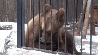 Медвежонок Алтай урчит рычит и говорит