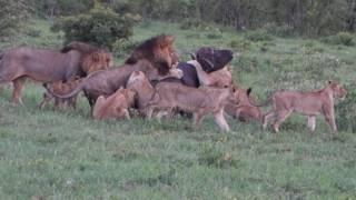 Jungle's law - A Lei da Selva - Sabi Sabi national park South Africa Republic January 4th 2017