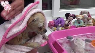 Lilly Rose chihuahua : Mon premier bain