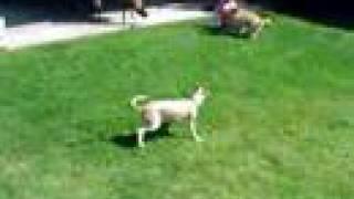 Italian Greyhound & Cockapoo