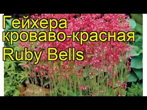 Гейхера кроваво-красная Руби Беллс. Краткий обзор, описание heuchera sanguinea Ruby Bells