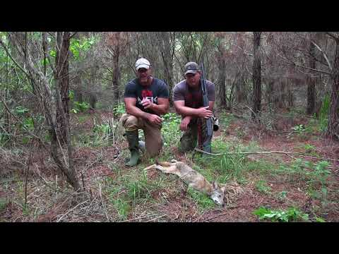 Hunting Pressured Coyotes in the Thickets MFK S6:E26
