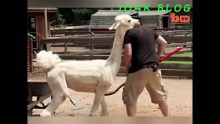 When animals were a bit of high temper Funny Animals Video 2018