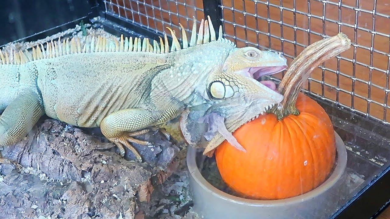 Iguana Eating Pumpkin