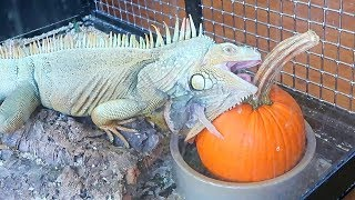 Iguana Eating Pumpkin