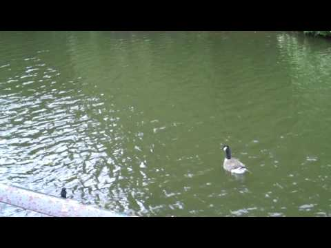 Geese in River Foss.MP4