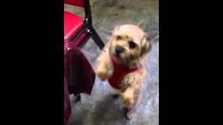 Border Terriers Christmas Surprise