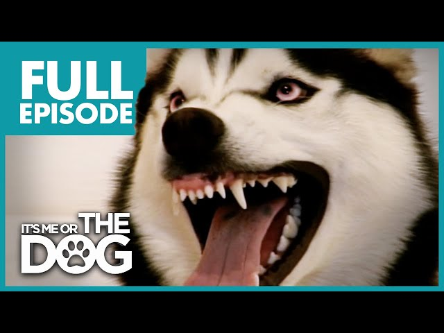The Demon Husky: Diesel | Full Episode | It's Me or The Dog
