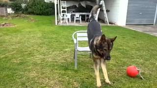 German Shepherd Jumping In Slow Motion