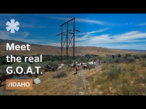 Idaho goat herder rotates goats for alternative weed control