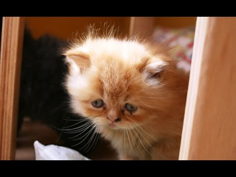 =^・^=  Persian cat =^・^=