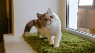 Британская кошечка Ksenia Lansfort (g 24 02) голубо-кремовая тэбби арлекин в 4 месяца