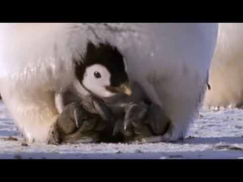 Emperor penguins | The Greatest Wildlife Show on Earth | BBC Earth Mp3