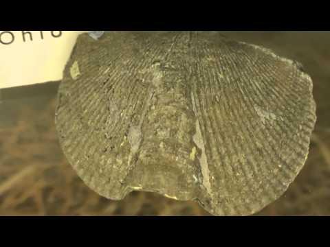 Lamp Shell Fossil, Humboldt State University Marine Lab, Trinidad, California, USA