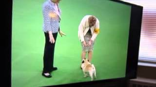 Pug Watching Pug On Tv During Westminster Kennel Club Dog Show
