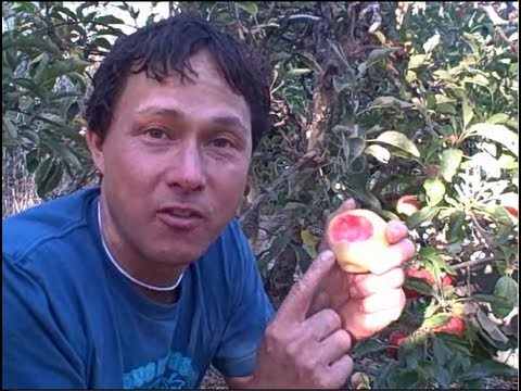 Home Orchard Grows over 150 Varieties of Heirloom Fruit Trees including Tropical Fruits