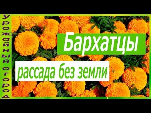 РАССАДА БАРХАТЦЕВ БЕЗ ЗЕМЛИ!