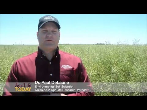 Wheat producers eye canola in crop rotations