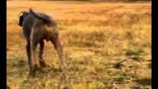 我が家の愛犬、ワイマラナーのニッキー君が大好きだった野原でお遊び.
