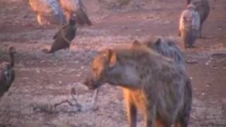 Hyenas vs Vultures in Kruger NP