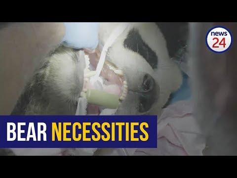 WATCH   Open wide! SA veterinary dentist checks pandas' teeth in China