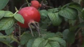 Edible Plants: Wild Rose