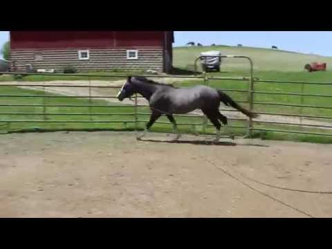 AQHA/APHA 3 year old gelding son of Im Suddenly Silver