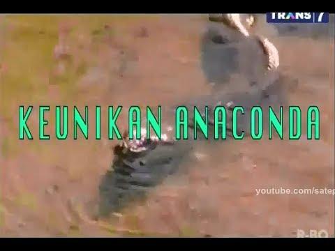 Spotlite - Keunikan Anaconda