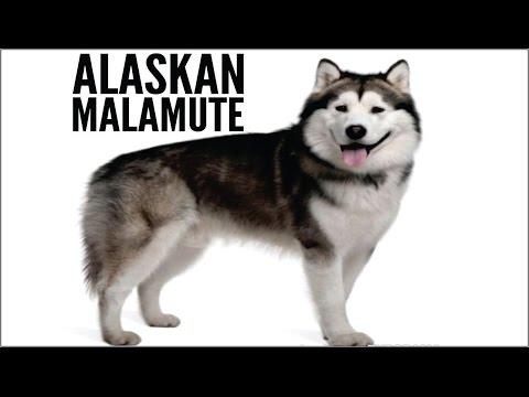 Malamute de Alaska o Alaskan Malamute  perro de halar trineos. video