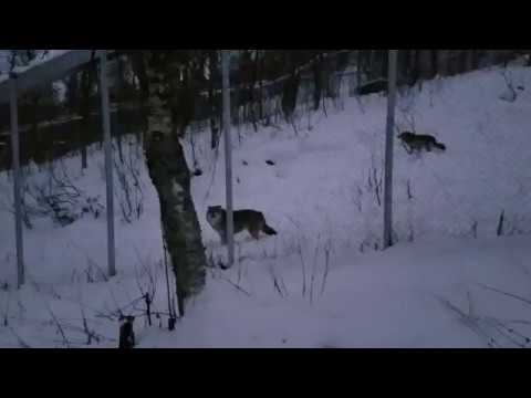 Wolves Howling at Polar Park, Bardu, Norway