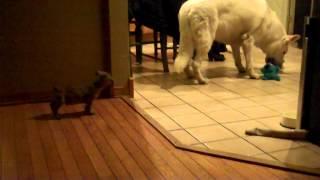 Bugg Puppy and German Shepherd Playing Thumbnail