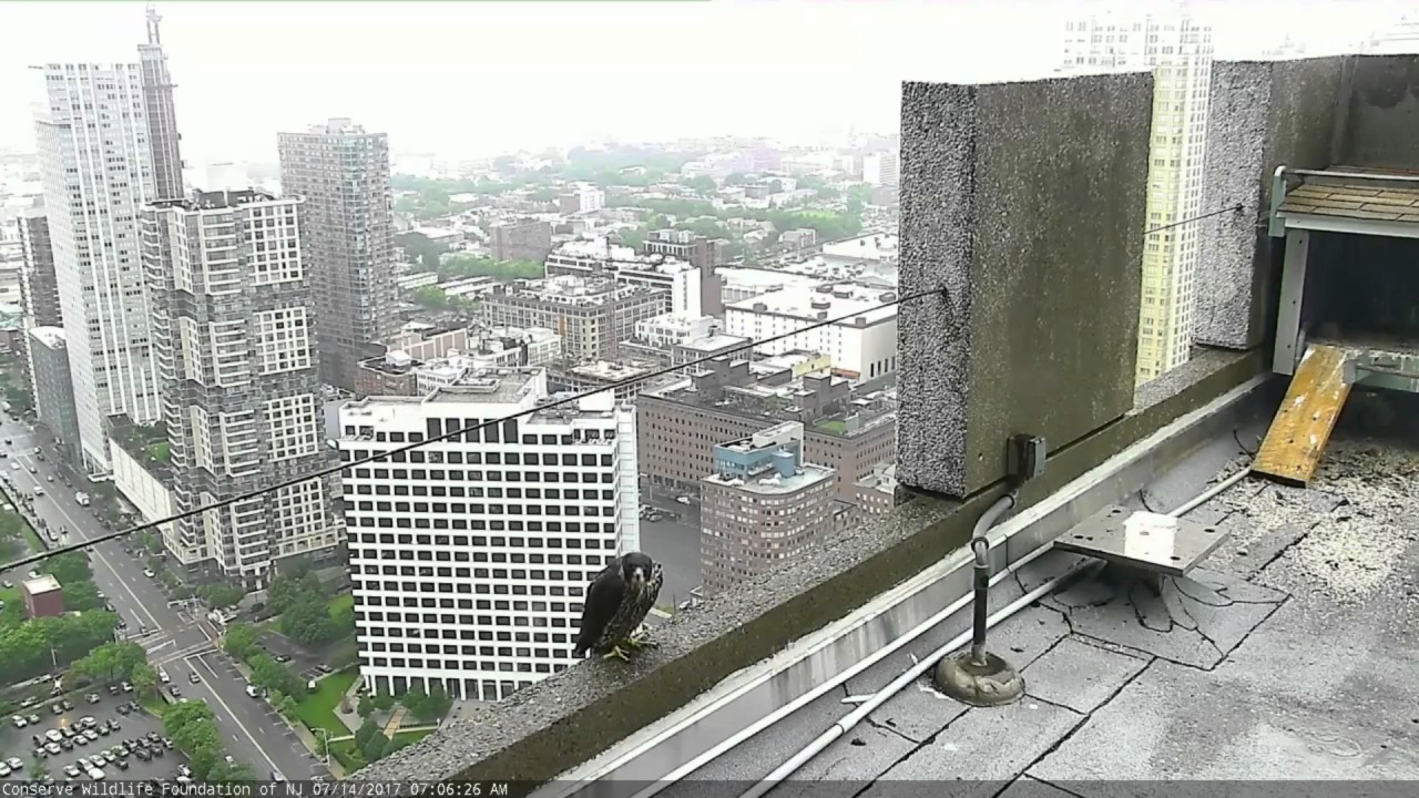 jersey-city-falcon-cam-bd-62-rainy-visit-to-rooftop-ledge-7-14-17