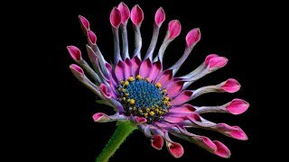 African Daisy: Quick Care Tips