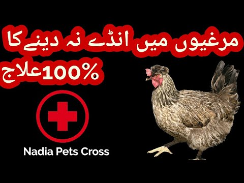 Do I Need a Rooster for Hens to Lay Eggs In Urdu