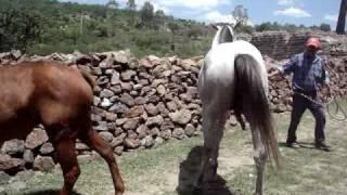 Repeat youtube video caballo apareando