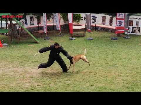 Belgian Malinois Attack Training - Smartest Dog Breed