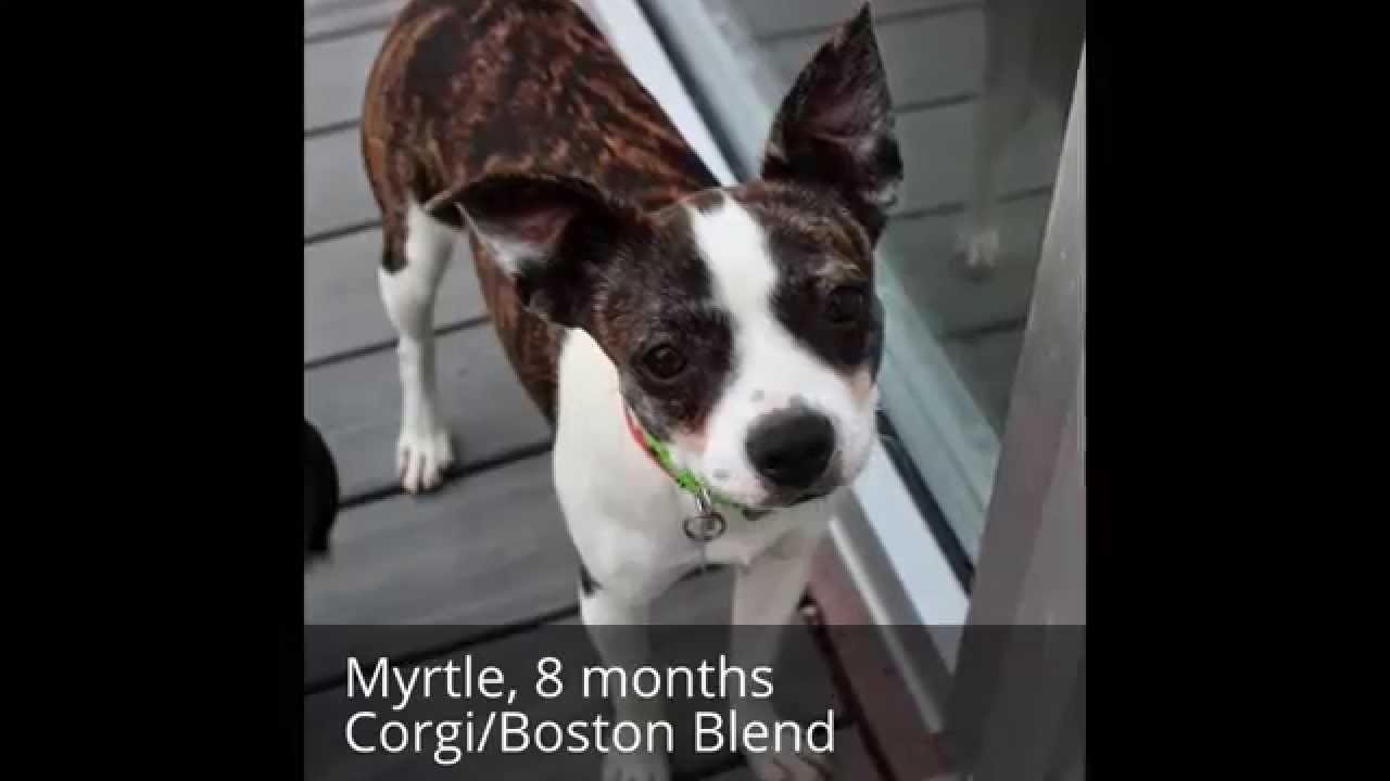 corgi boston terrier myrtle corgi boston terrier blend youtube 8917