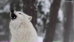 Howling Wolves - Heulende Wölfe