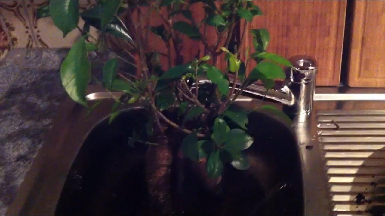 Bonsai Ficus Pflegen Und Wässern - Tipps - Youtube Ficus Ginseng Bonsai Einpflanzen Tipps