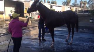 California Chrome Bath March 13, 2015