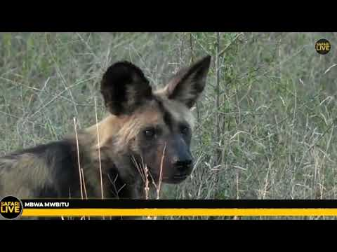 Wild Africa Xidulu ,wild dogs and James H singing Gummy bear song 8 may 2018