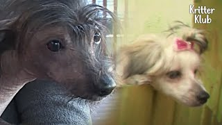 Chinese Crested Dog Tries To Chat Up A Girl, But Ain't Going Well | Kritter Klub