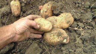 Картофель 2017 Урожай Сорта(, 2017-09-04T09:21:50.000Z)
