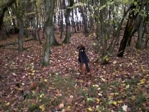 Polnische Bracke Emma im Wald